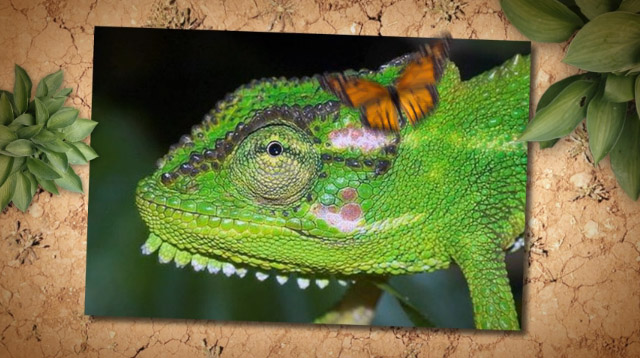 Animation of The Bearded Chameleon by Chris Mooney Singh